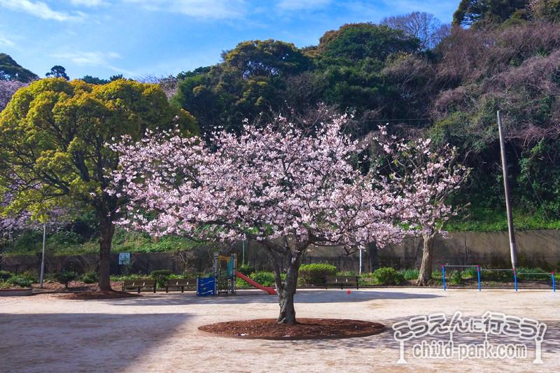写真:荒津公園の桜の木