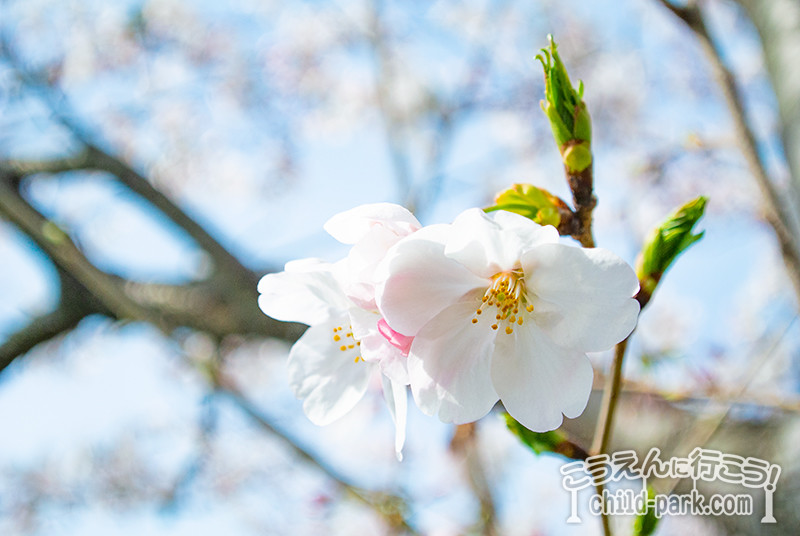 室見川河畔公園の桜