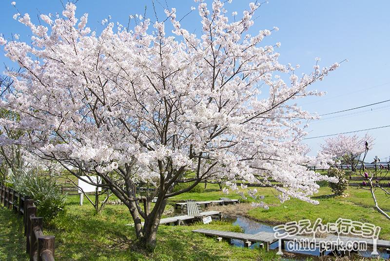 金武アメンボ公園の桜