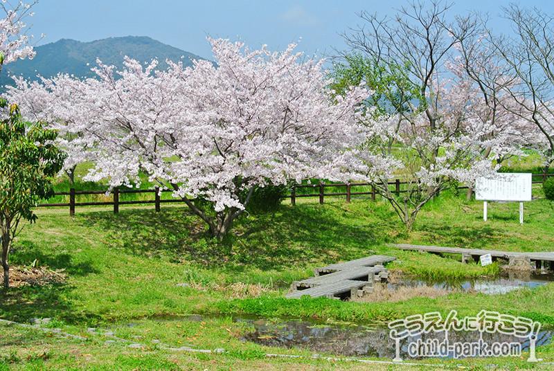 写真:金武アメンボ公園の桜