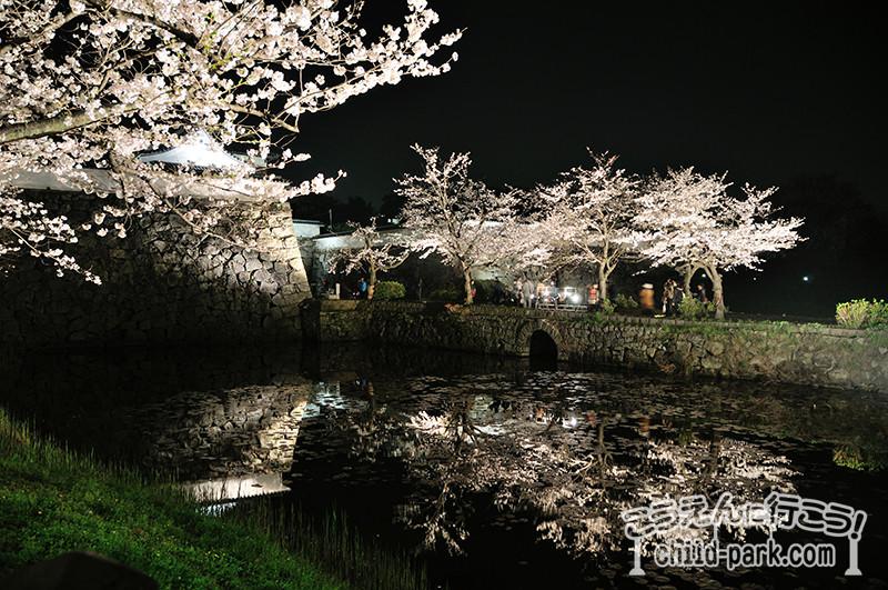 舞鶴公園のライトアップされた桜