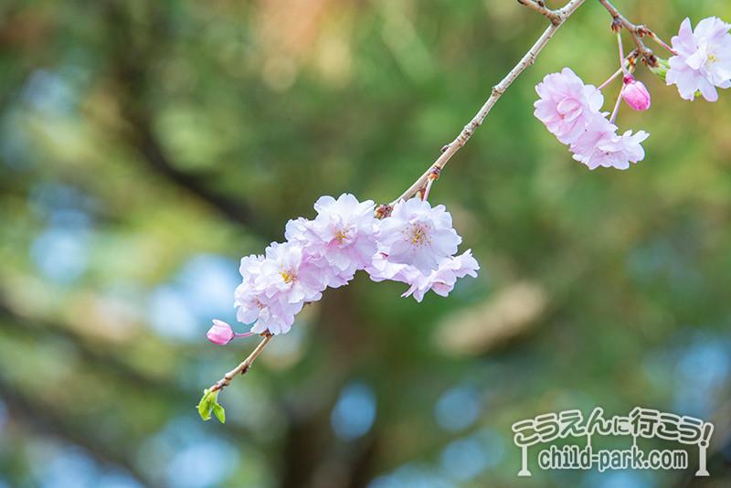 福岡市西公園の桜