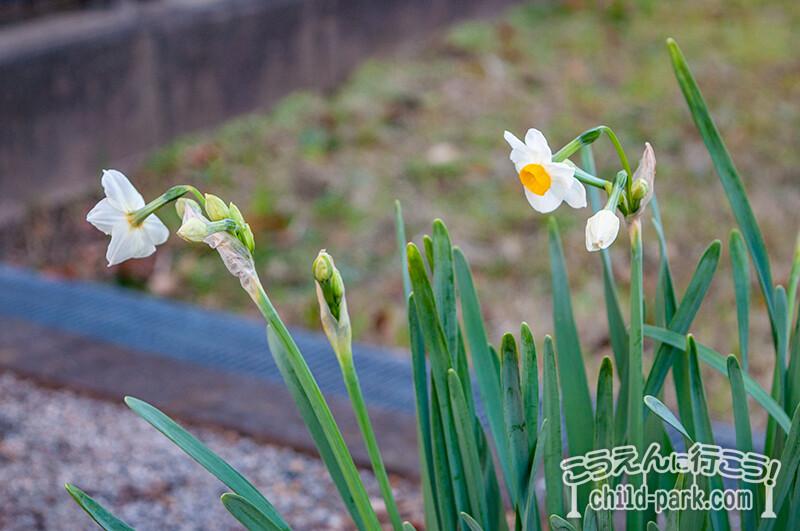 写真:田村2号公園の水仙